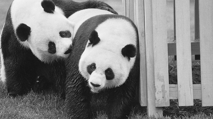 Giant pandas Hsing-Hsing (left) and Ling-Ling frolic at the National Zoological Park near Washington, DC. (Credit: Bettmann/Getty Images)