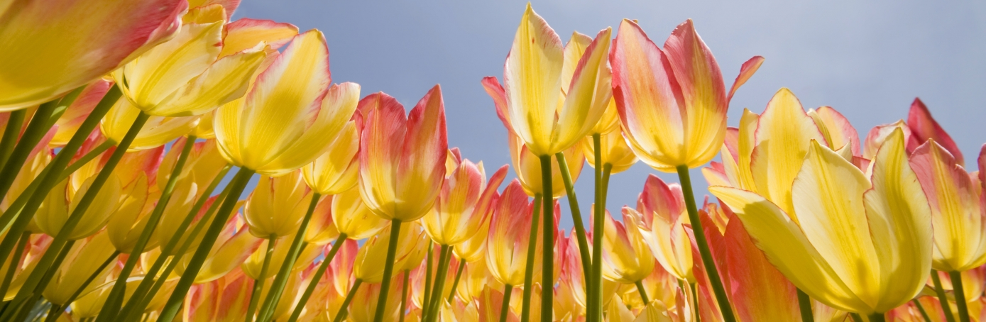 Low angle view of hybrid tulips in the Spring, equinox