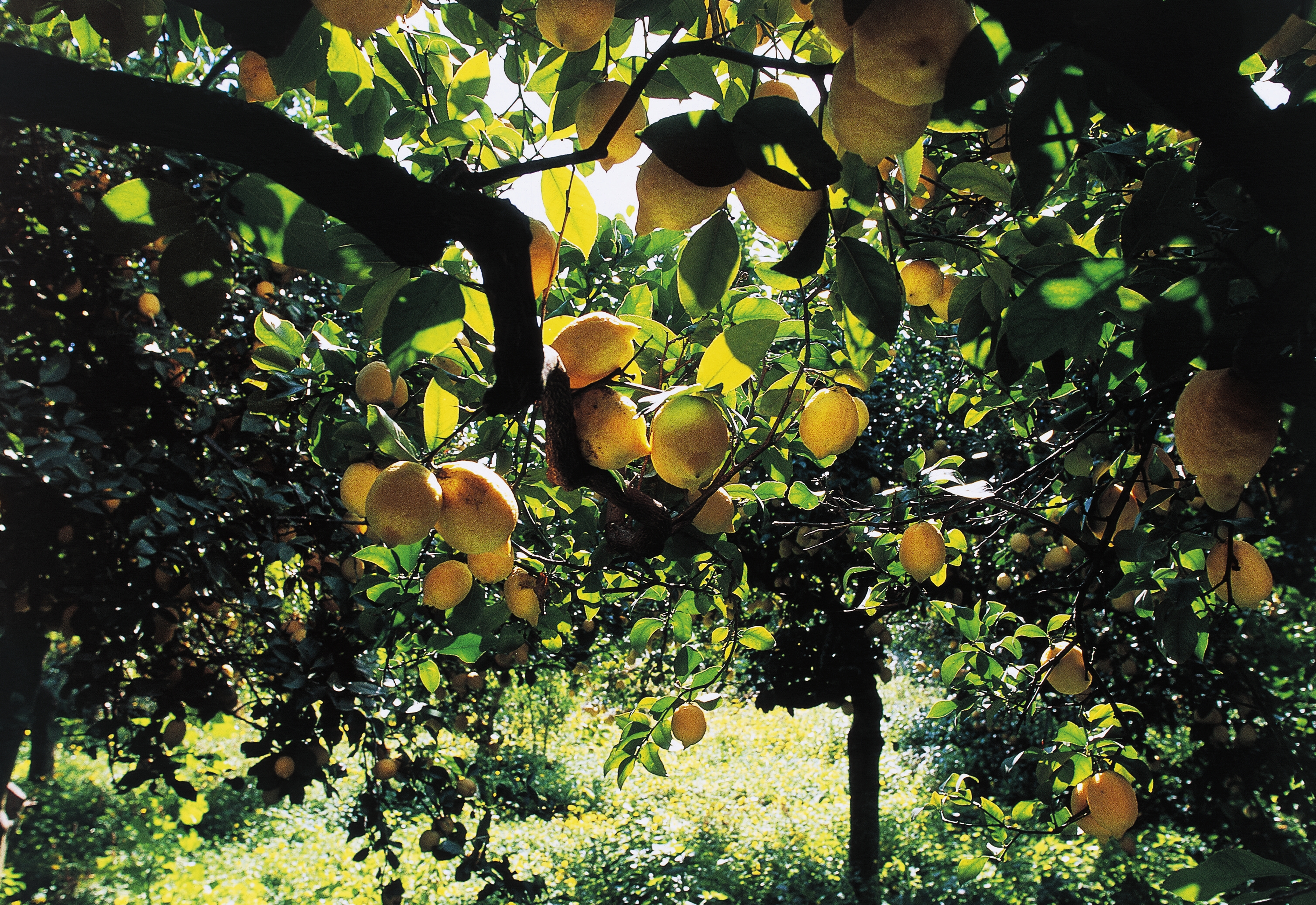 How citrus fruits became an ancient status symbol history in the citrus fruit crops in sicily italy credit deagostinigetty images biocorpaavc