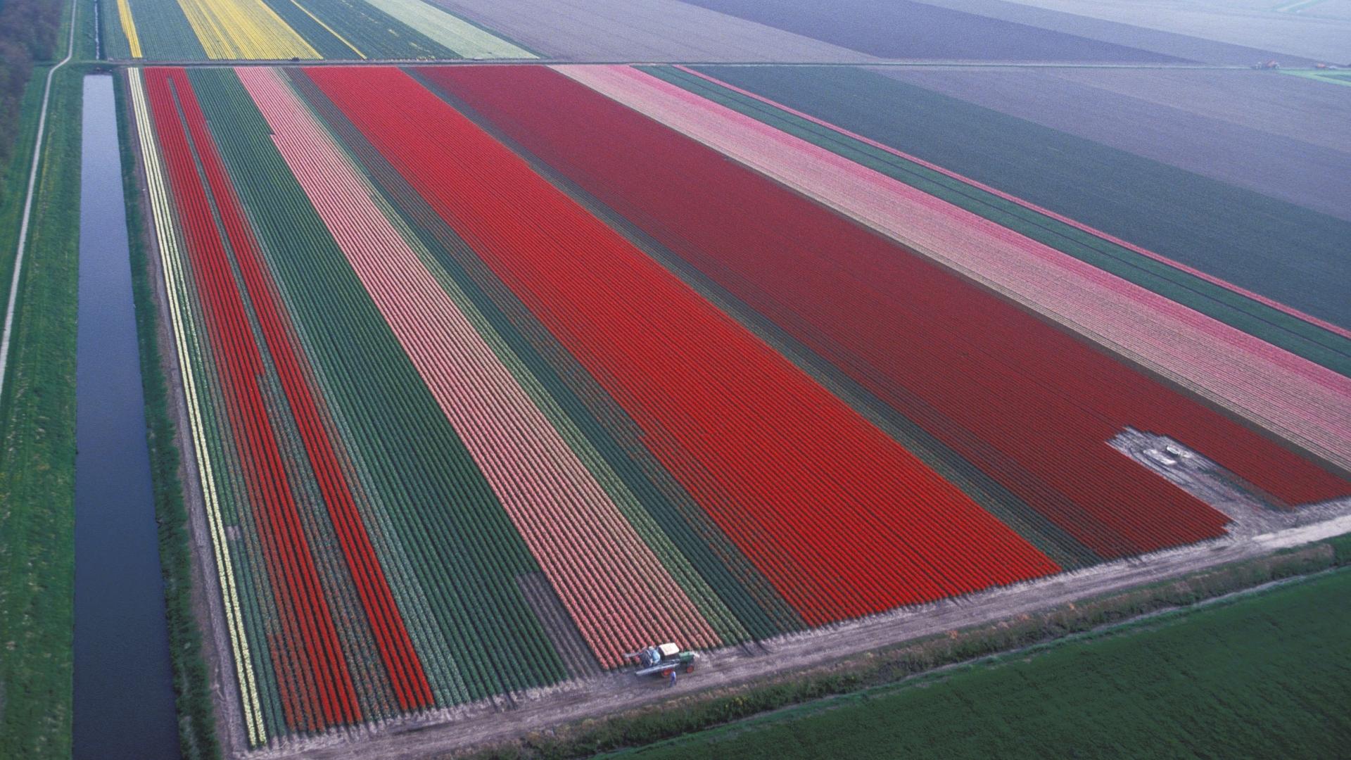 Tulips in Lisse, Netherlands, 1994. (Credit: Marc DeVille/Gamma-Rapho via Getty Images)