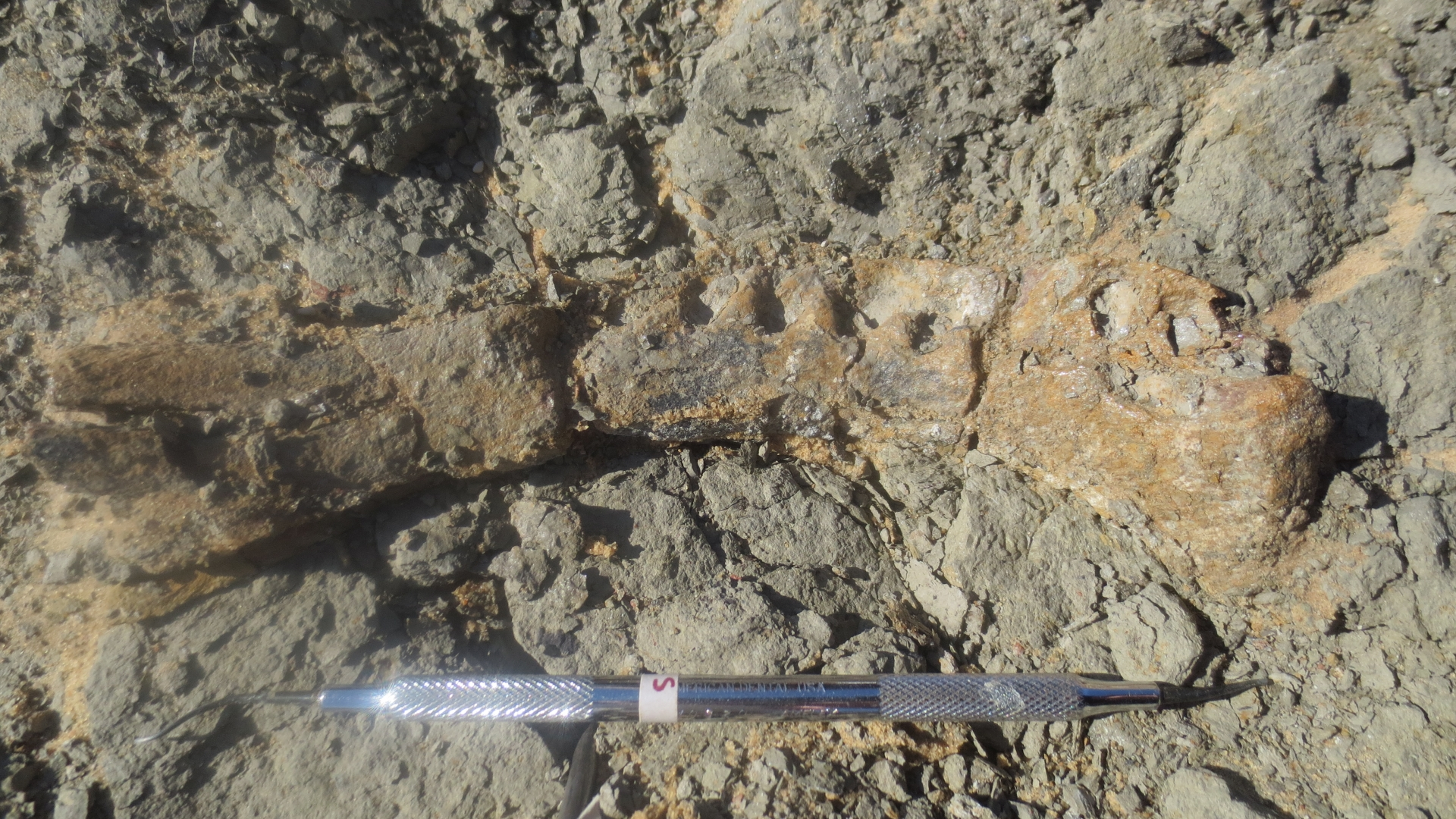 The lower jaw bone of the new dinosaur as it was found in rock of the Upper Cretaceous-aged (approximately 80 million-year-old) Quseir Formation of the Dakhla Oasis, Egypt. (Credit: Hesham Sallam/Mansoura University)