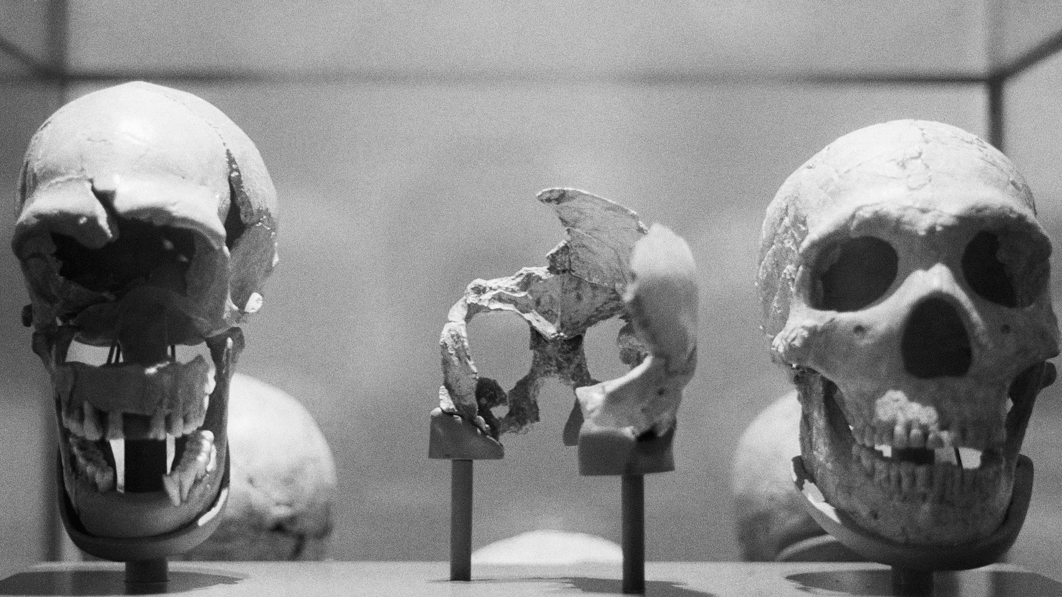 A Neanderthal skull and some of the Mousterian tools used by the Neanderthals are shown in this display during a tour of the 'Ancestors' exhibit at the American Museum of Natural History 412 (Photo by Getty)