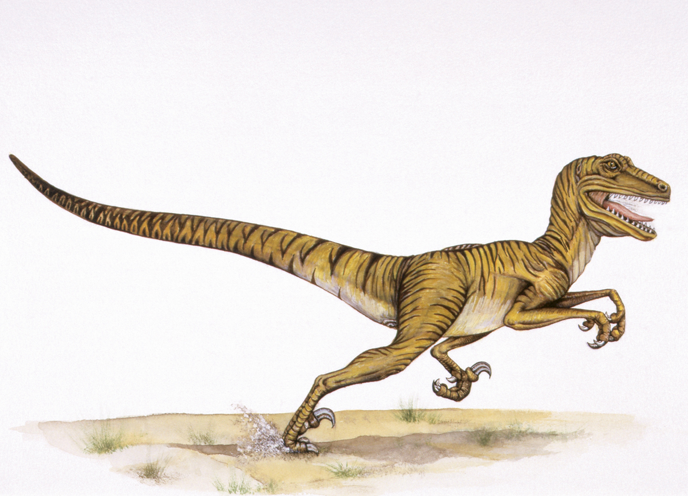 Illustration of a Deinonychus. (Credit: De Agostini Picture Library/Getty Images)